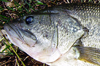 Videos por especie - Pesca de Black Bass